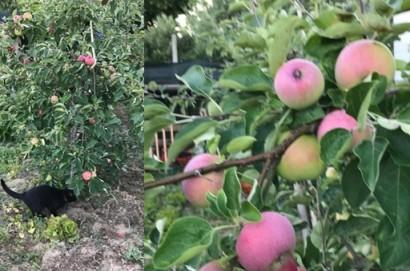 """Le mele """"maggiaiole"""" di Michele e Carola"""