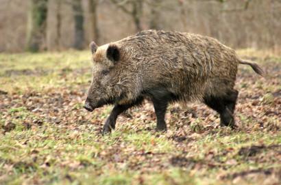 Mattatoio comunale di Sinalunga certifica tracciabilità della carne di cinghiale