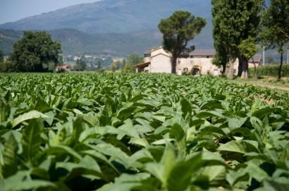 Manifatture sigaro toscano, inizia il ricevimento del tabacco Kentucky a Foiano della Chiana