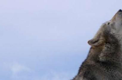 Lupi, in arrivo bando per riconoscimento danni da predazione per il 2017