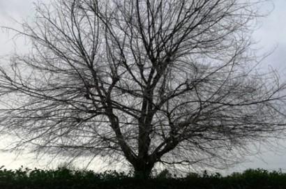 Verso la scomparsa dell'olmo campestre in Valdichiana e nel cortonese?